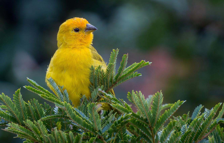 Фото обои ветки, природа, птица, ель, желтая