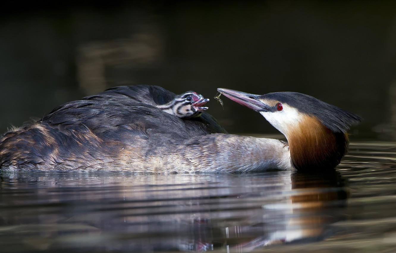 Фото обои вода, птица, птенец