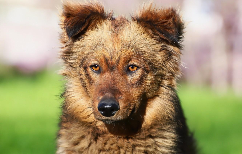 Фото обои взгляд, морда, собака, дворняга