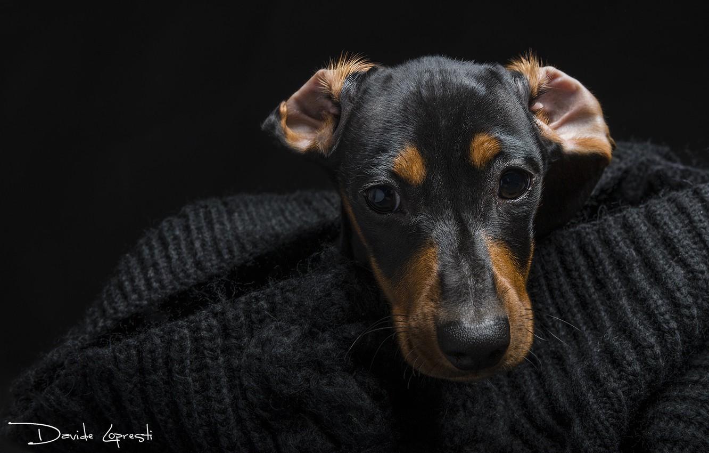 Фото обои глаза, взгляд, морда, собака, такса