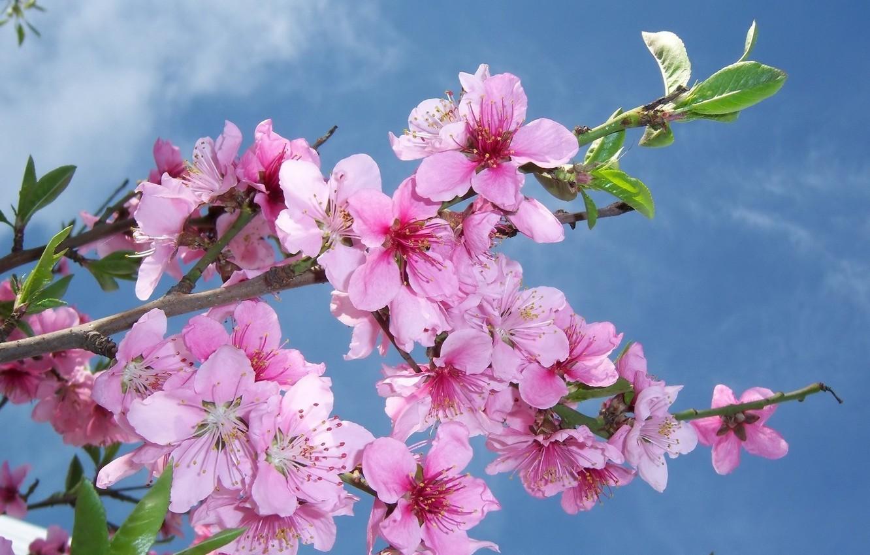 фотокартина ветка цветущей розовой сливы обучаться актерскому мастерству