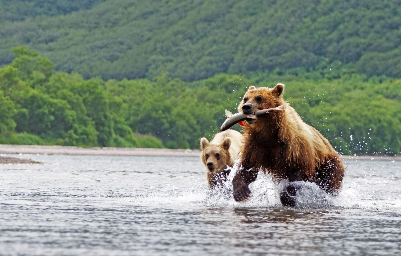 Фото обои лес, вода, брызги, природа, фон, прыжок, рыба, медведи, бег, охота, два, водоем, дикая природа, добыча, …