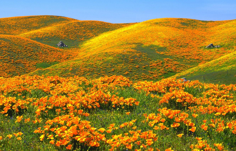 Фото обои небо, цветы, холмы, маки, США, заказник, Антелоп Вэлли Калифорния Поппи Резерв