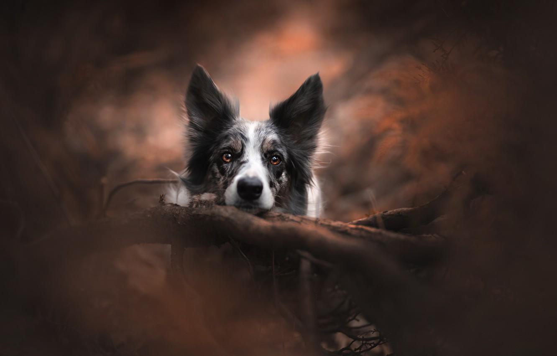 Фото обои взгляд, морда, собака, коряга, боке, Бордер-колли