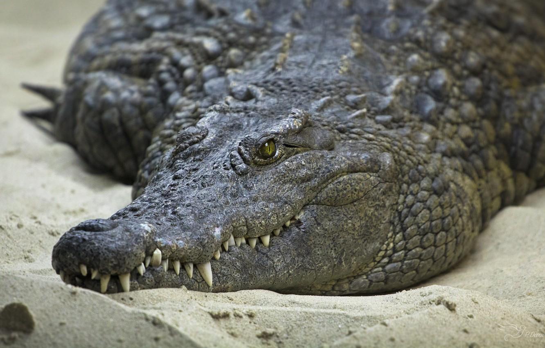 Фото обои песок, глаза, берег, зубы, крокодил