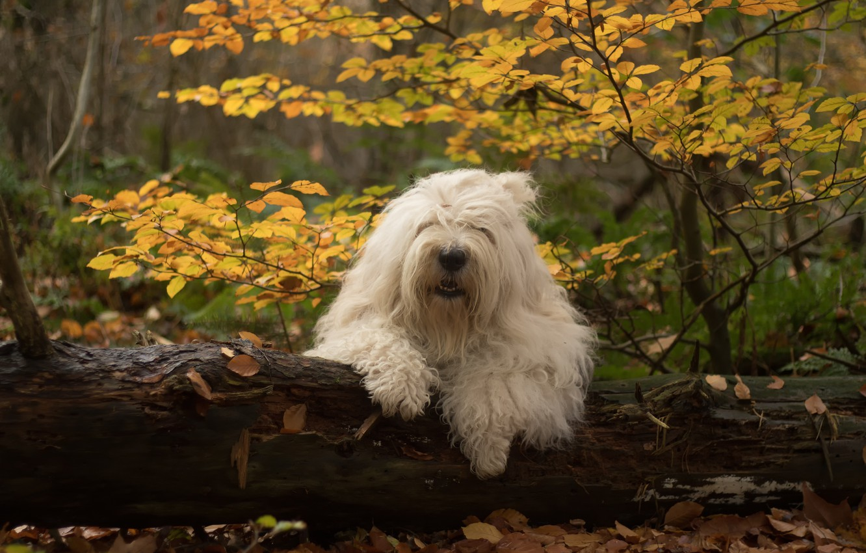Фото обои осень, лес, собака, бревно, Бобтейл, Староанглийская овчарка