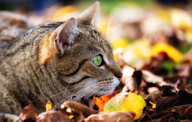 Фото обои кошка, кот, листья, мордочка, наблюдение, боке