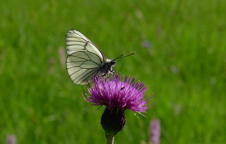 Фото обои цветок, природа, бабочка