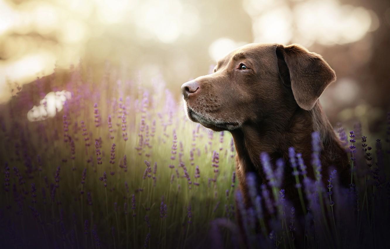Фото обои взгляд, морда, цветы, портрет, собака, лаванда, Лабрадор-ретривер