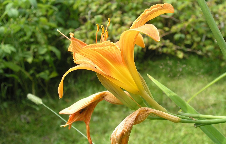 Фото обои цветок, лето, солнце, макро, природа, лилия