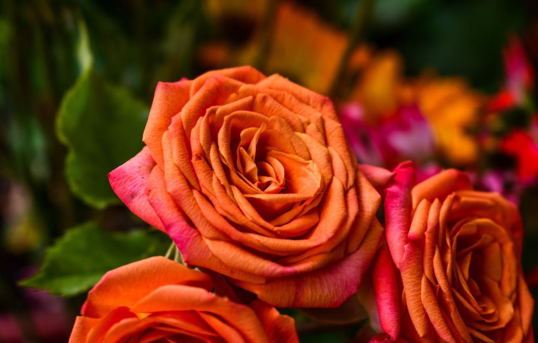 Фото обои розы, оранжевая, букет, лепестки, бутоны