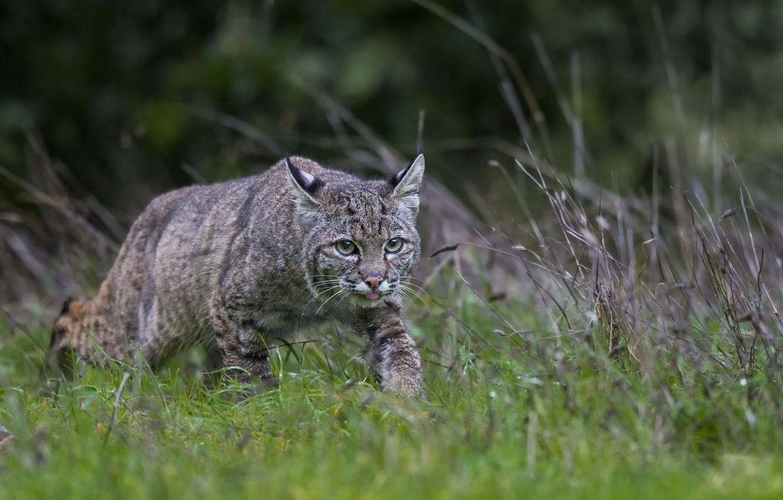 Фото обои язык, трава, природа, охота, дикий кот