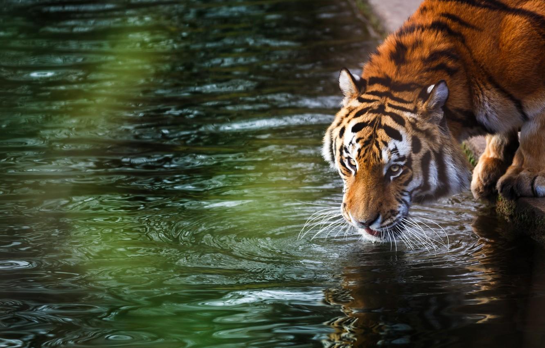 Фото обои лес, лето, тигр, отдых, размытость, дикая кошка, animals, nature, tiger, боке, амурский тигр, amur tiger, …
