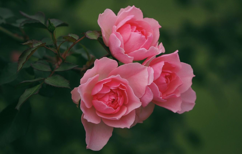 Фото обои розы, розовые, трио