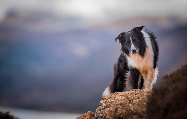 Фото обои собака, боке, Бордер-колли