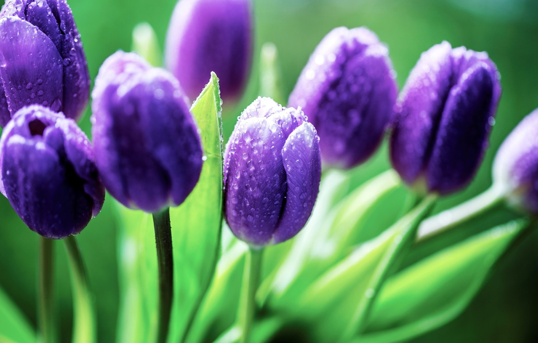Фото обои green, colors, nature, flowers, water drops, purple flowers, purple, dew, petals, Tulips