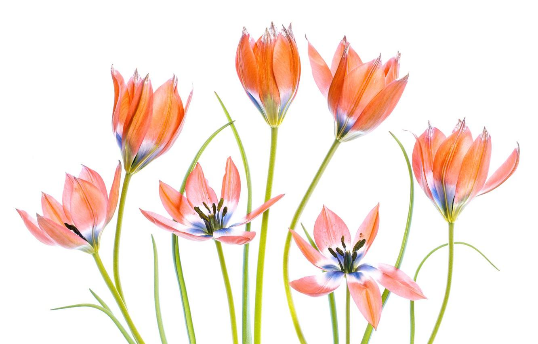 Фото обои фон, стебли, тюльпаны, Apricot Tulips