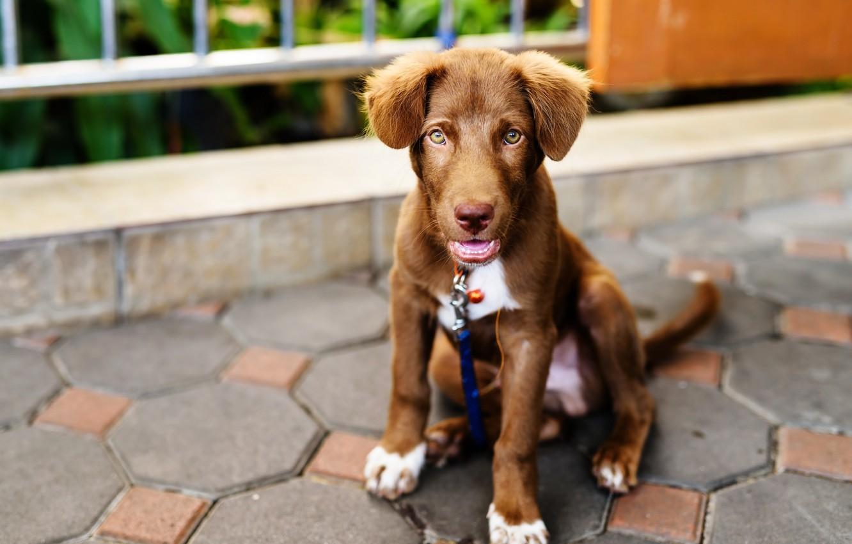 Фото обои милый, щенок, light, лабрадор, puppy, dog, cute