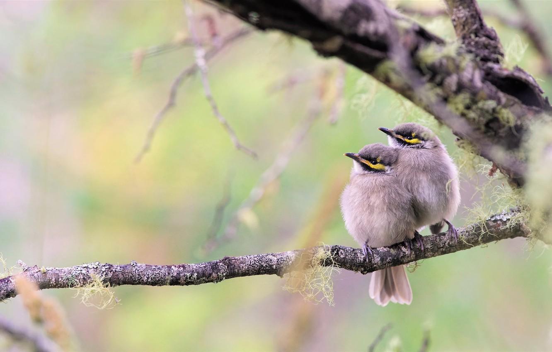 Фото обои птицы, ветка, парочка, птенцы, боке, Желтолицый медосос