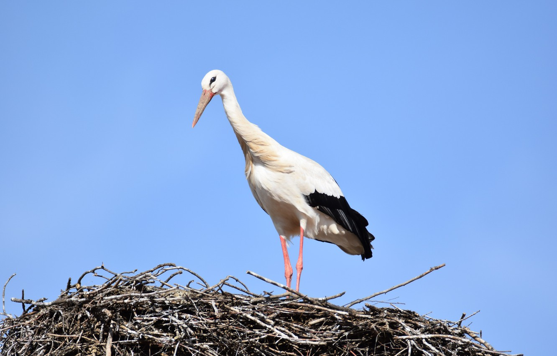 фото аиста птицы игроки принимающие