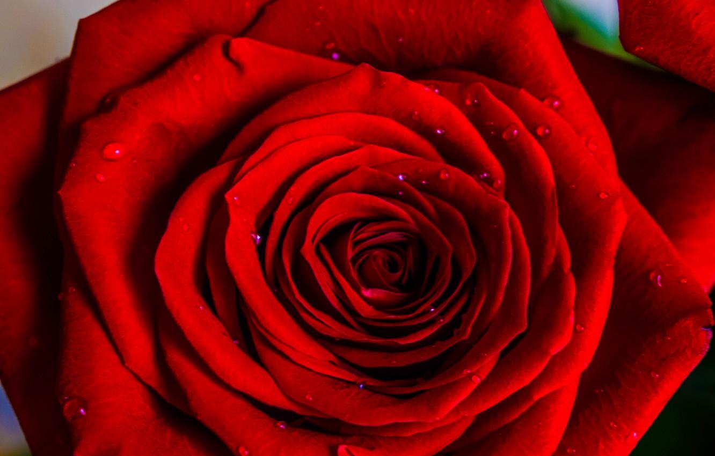 Фото обои капли, роза, красная роза