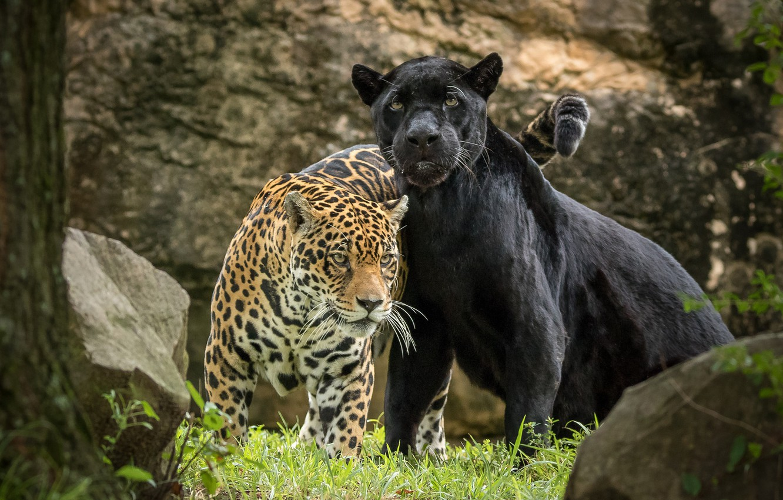 Пантера ягуар картинки