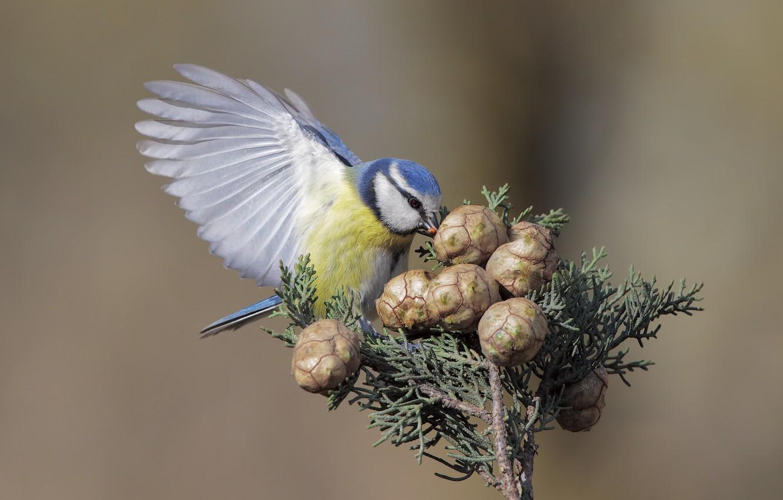 Фото обои птичка, шишки, синичка, синица