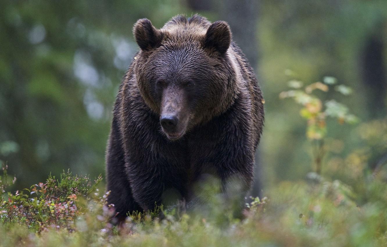 хомяк картинки на телефон медведи в лесу является любимицей