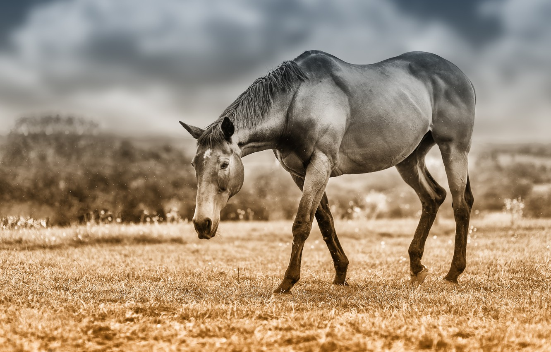 Фото обои поле, небо, взгляд, морда, облака, конь, лошадь, обработка, пастбище