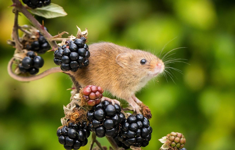 Фото обои ягоды, фон, ветка, мышка, ежевика, грызун, Harvest Mouse, Мышь-малютка
