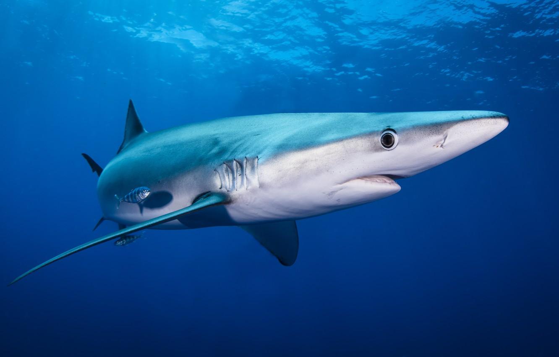 Картинка рыбы акула
