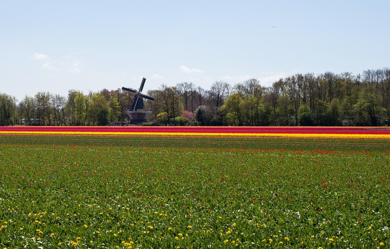 Фото обои поле, цветы, природа, мельница, Пейзаж