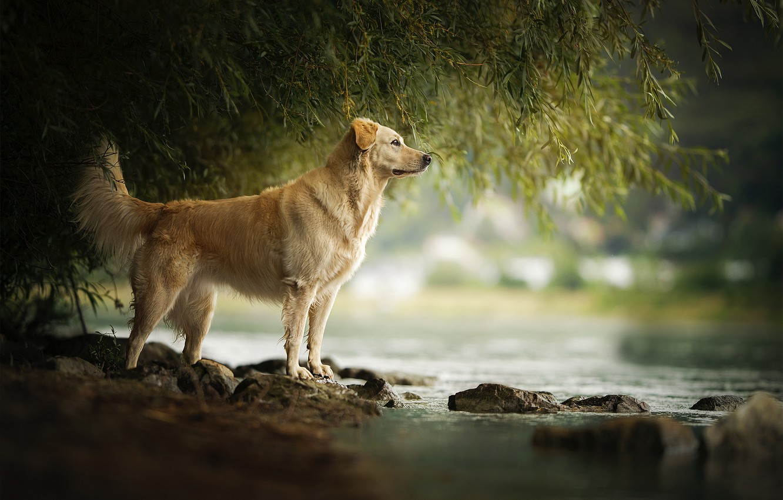 Фото обои река, камни, течение, собака, Amara