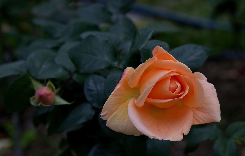 Фото обои роза, куст, бутон