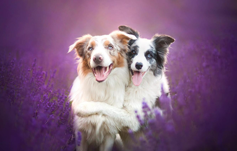 Фото обои собаки, цветы, дружба, друзья, лаванда, Бордер-колли