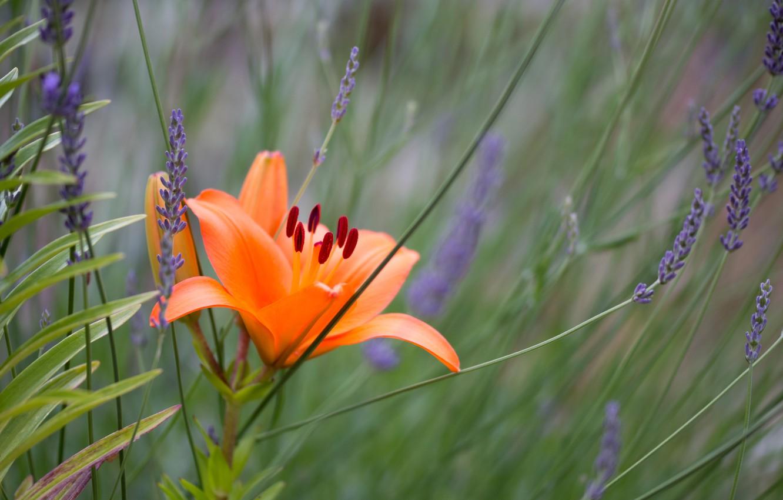 Фото обои лилия, лаванда, боке