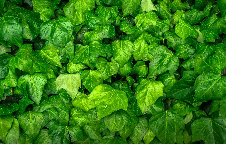 Фото обои листья, растение, зелёный, капли воды