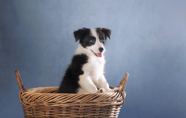 Фото обои фон, корзина, собака, щенок, Бордер-колли