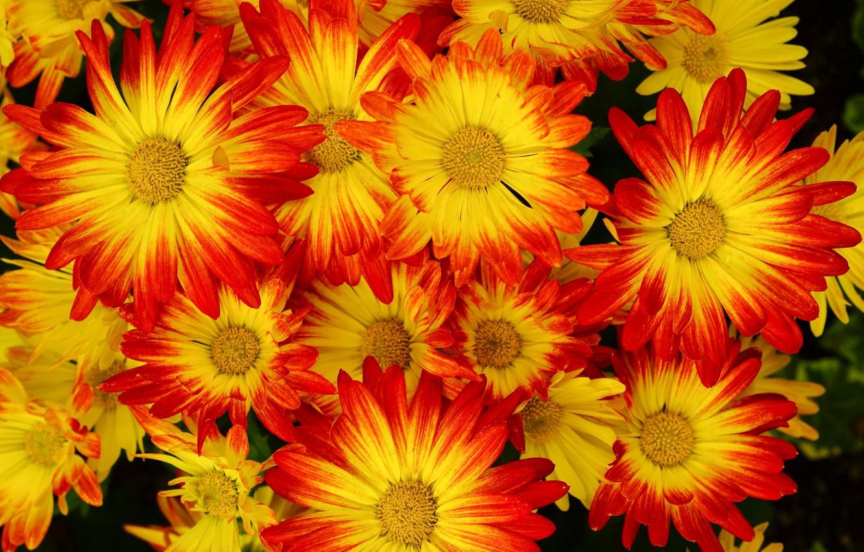 Фото обои фон, хризантемы, много, крупным планом, жёлто-красные