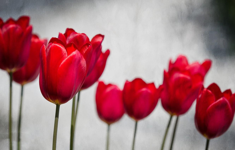 Фото обои весна, лепестки, сад, тюльпаны