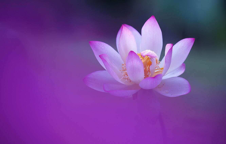 Фото обои цветок, фон, лепестки, лотос
