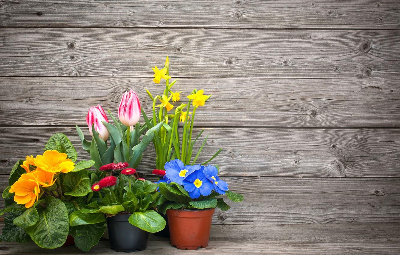 Фото обои цветы, тюльпаны, горшки, нарциссы, маргаритки, примула