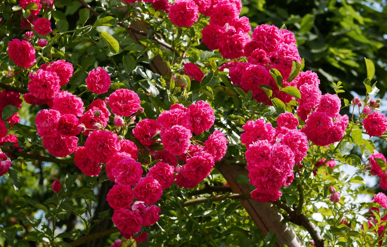 Фото обои листья, роза, лепестки, бутон, rose, цветение, leaves, petals, blossoms, Bud