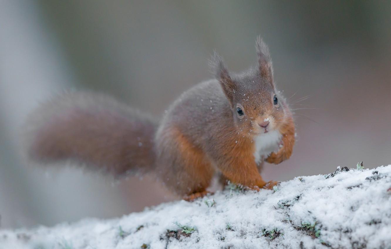 Фото обои зима, снег, белка, рыжая, боке