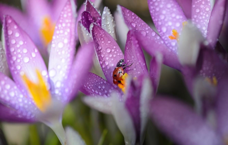 Фото обои макро, цветы, роса, божья коровка, утро, крокусы