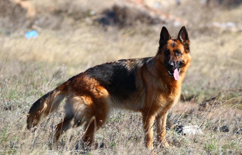 Фото обои язык, степь, собака, немецкая овчарка