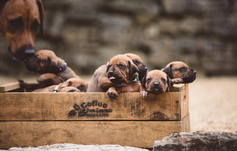 Фото обои собаки, щенки, ящик
