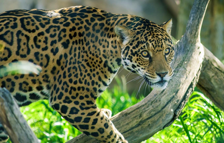 Обои дерево, морда, дикая кошка, Хищник, взгляд, Yaguar. Кошки foto 13