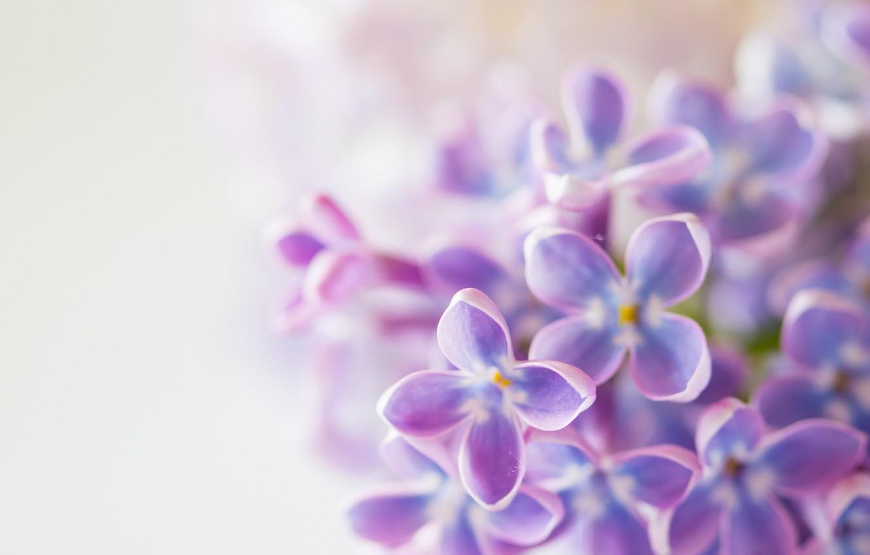 Фото обои листья, цветы, весна, цветение, сирень
