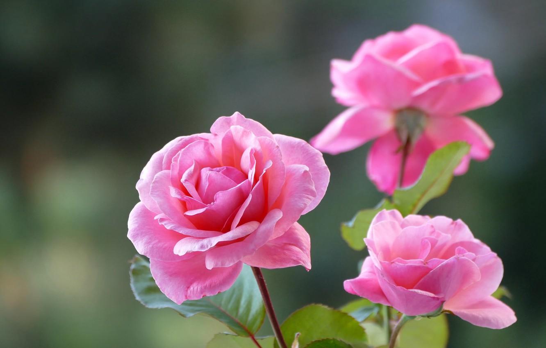 Фото обои фон, розы, трио